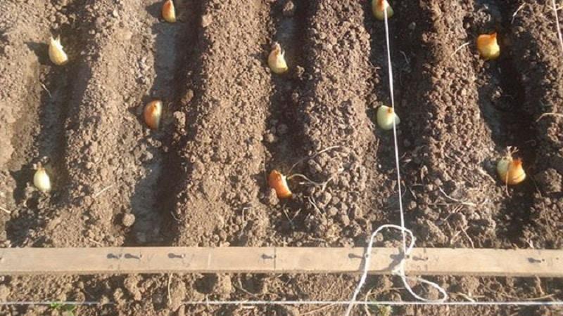 Можно ли сажать семейный лук под зиму: и когда садить на Урале, посадка осенью в Подмосковье, как правильно сеять, осенняя посадка лука-семейки
