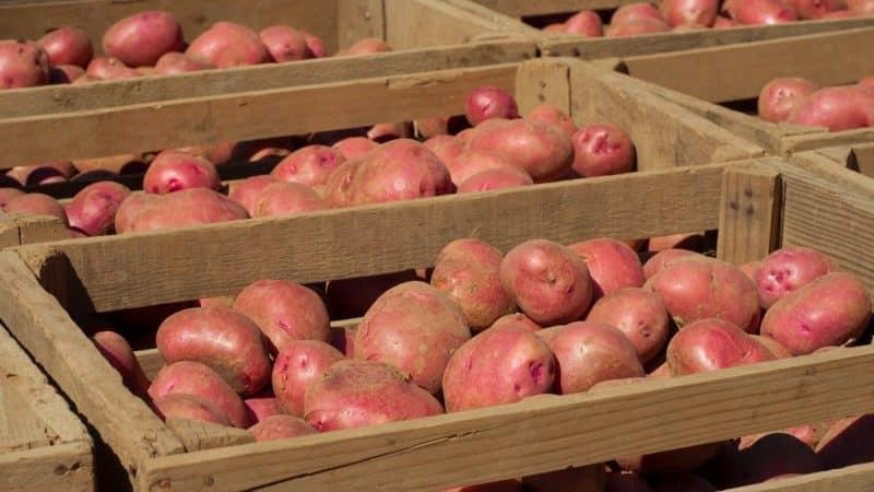 Правила хранения семенного картофеля: инструкция по подготовке семян и оптимальные условия