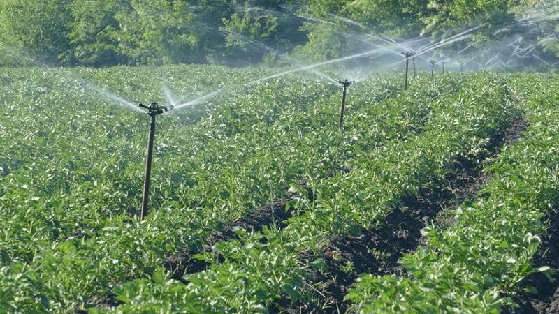 Правила полива картофеля во время цветения