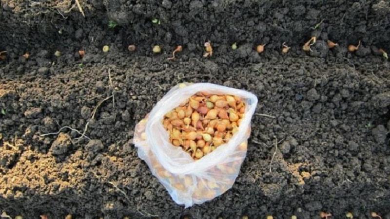 Правила посадки лука на репку под зиму