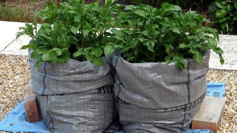 Правила выращивания картофеля в мешках