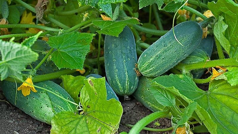 Продлеваем срок плодоношения огурцов: эффективные рецепты для подкормки в августе