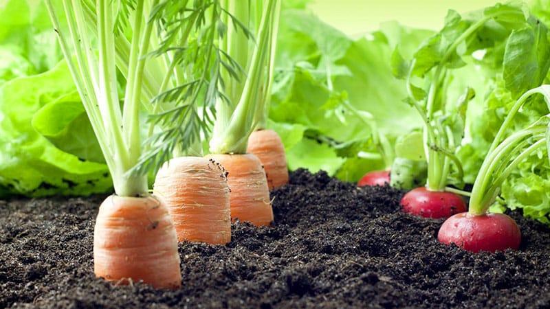Сажаем морковь правильно и вовремя