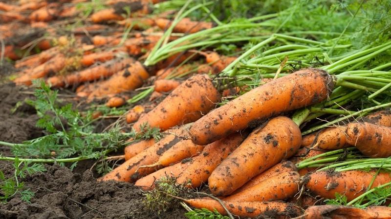 Сроки уборки урожая моркови в Сибири: когда лучше всего собирать