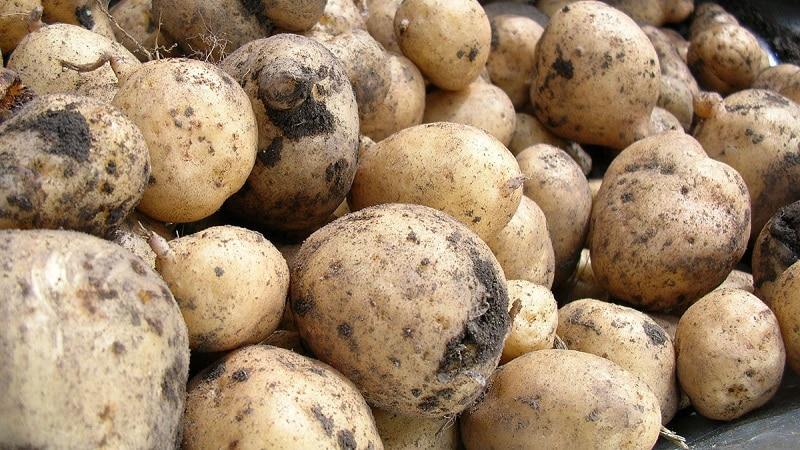 Сырая и вареная картошка в качестве корма для морских свинок, хомяков и скота