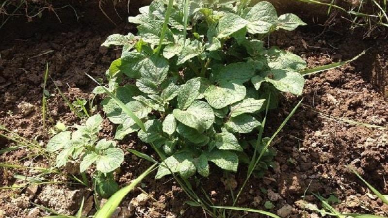 Выращивание картофеля по китайскому методу