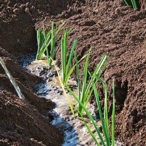 Выращивание лука порея в открытом грунте и уход за ним от посадки до сбора урожая