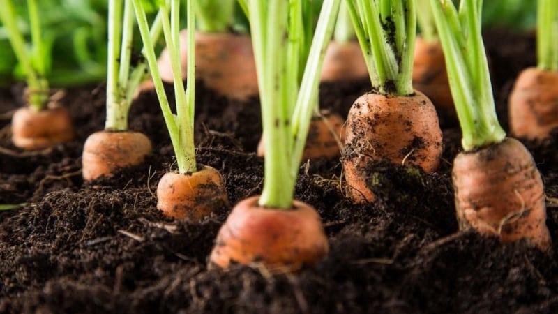 Инструкция по выращиванию моркови на даче для начинающих