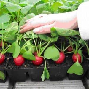 Инструкция по выращиванию редиса в теплице зимой на продажу и прибыльность этого бизнеса