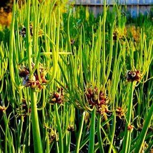 Выбираем, какой лук посадить под зиму на зелень и сажаем его правильно