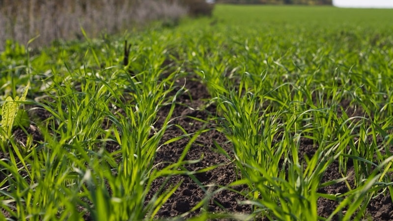 Когда сажать пшеницу весной