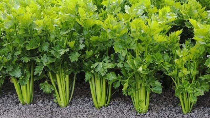 Что такое сельдерей: обзор, правила употребления и технология выращивания