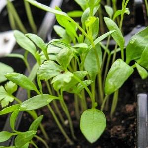 Руководство по выращиванию петрушки для начинающих огородников