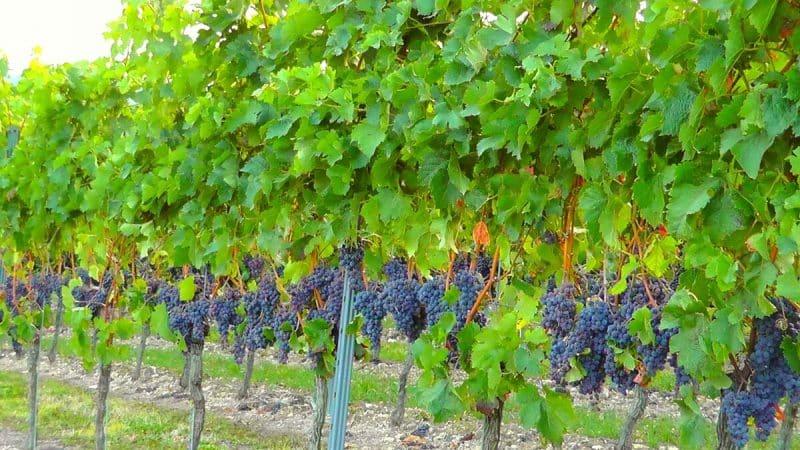 Пошаговое руководство по правильной подготовке винограда к зиме