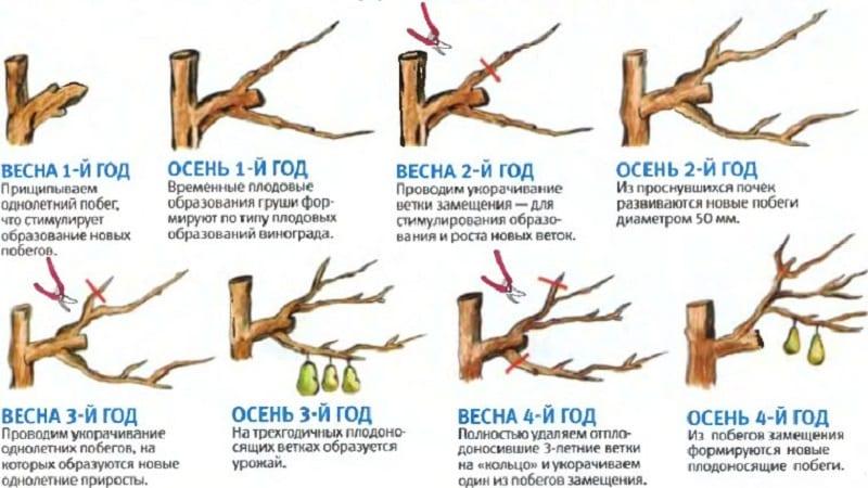 Обзор сорта груш Осенняя Яковлева: преимущества, недостатки, нюансы выращивания