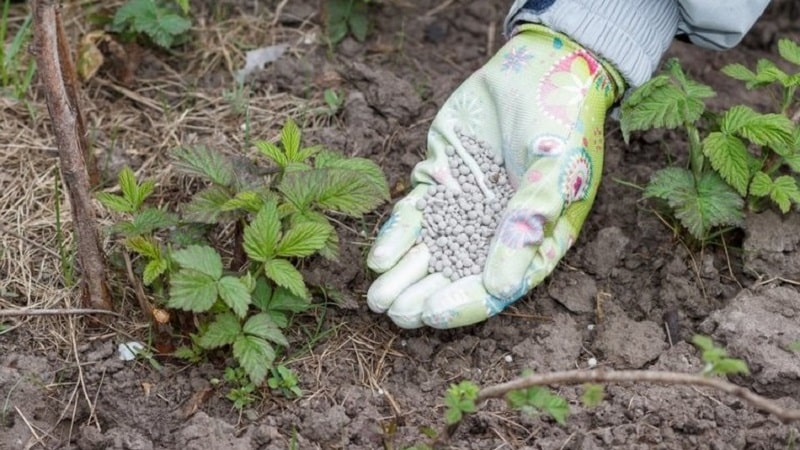 Инструкция по уходу за малиной весной после зимы и советы бывалых садоводов