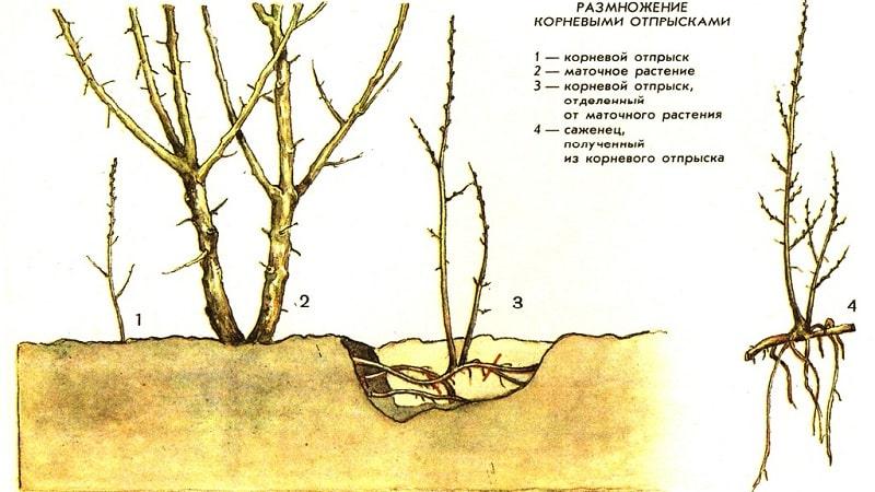Руководство по пересадке малины осенью на новое место для начинающих садоводов