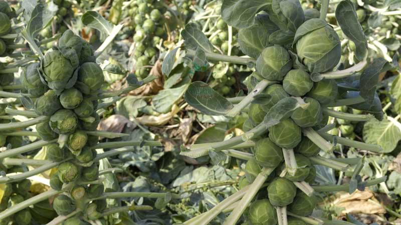 Проверенные способы, как хранить брюссельскую капусту на зиму в свежем, замороженном и консервированном виде