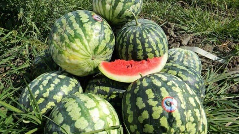 Чем хорош астраханский арбуз и почему его так любят фермеры