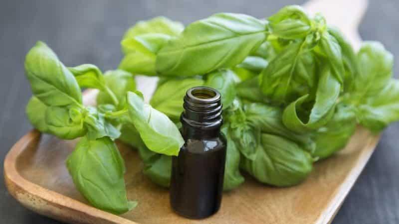 Чем полезно эфирное масло базилика и как применять его правильно