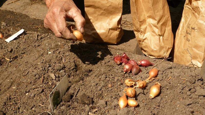 Главные секреты посадки лука-севка под зиму: как и когда правильно сажать