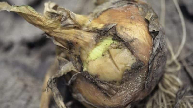 Что делать, если гниет лук при хранении и на грядке