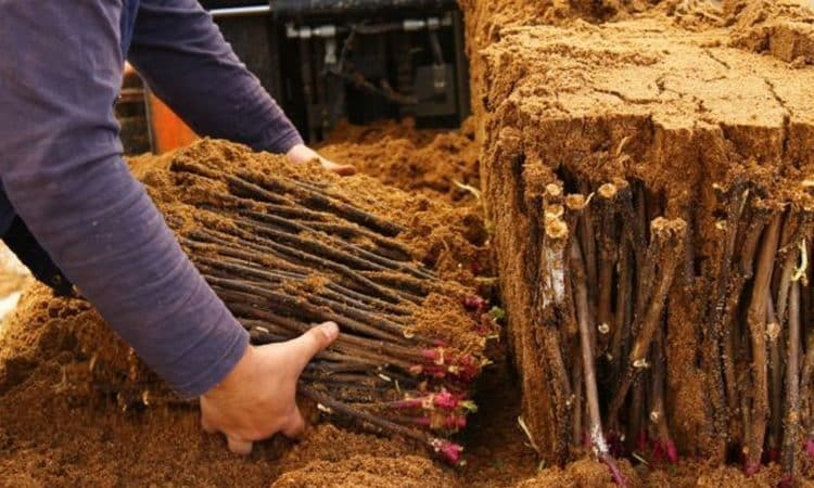 Проверенные способы хранения черенков винограда зимой и их проверка перед посадкой