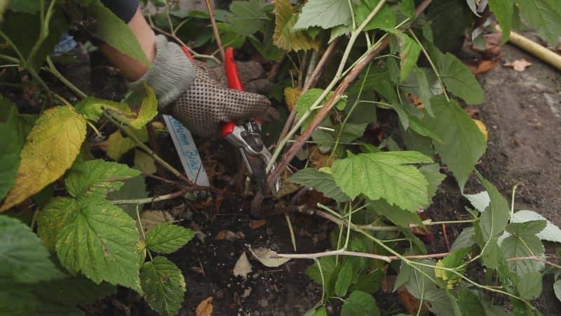 Простая и понятная инструкция по обрезке ремонтантной малины осенью для начинающих