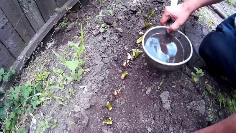 Инструкция по правильному выращиванию хрена на собственном участке
