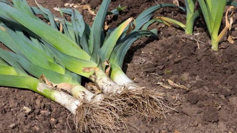 Инструкция по выращиванию лука порея: посадка и уход в открытом грунте под зиму