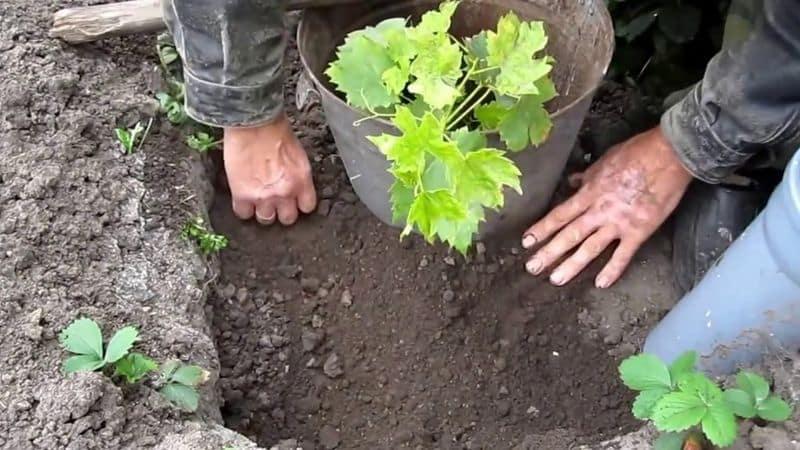 Как должна происходить посадка винограда осенью