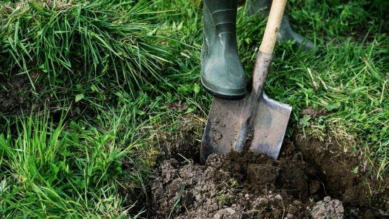 Руководство, как правильно посадить черешню осенью и не допустить ошибок