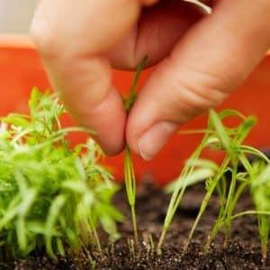 Пошаговая инструкция для начинающих огородников: как правильно проредить морковь и для чего это нужно