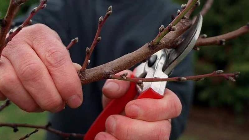 Как правильно проводить обрезку абрикоса осенью и зачем она нужна