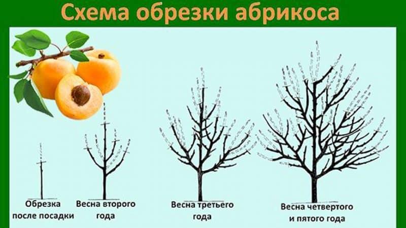 Как посадить абрикос из косточки в домашних условиях