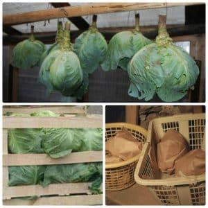 Проверенные способы, как сохранить капусту на балконе зимой в свежем виде