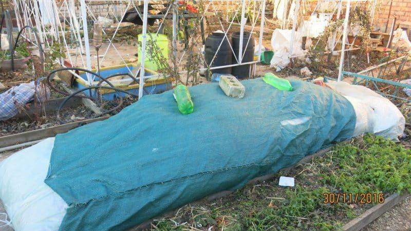 Пошаговая инструкция, как укрыть инжир на зиму правильно и подготовить дерево к холодам
