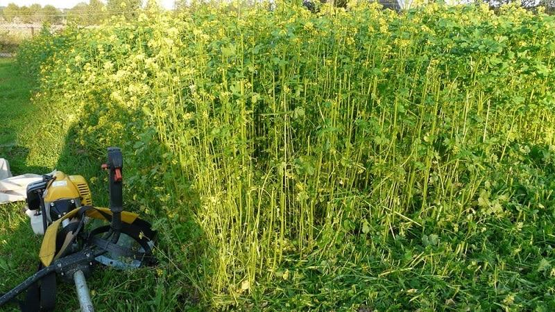 Какие лучше всего применять сидераты после капусты осенью