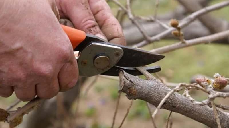 Когда и как обрезать жимолость осенью, чтобы был хороший урожай