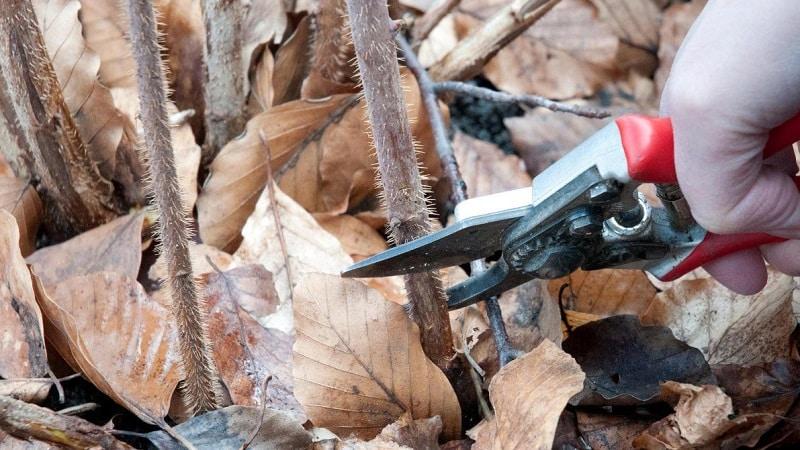 Когда и как правильно проводить обрезку малины осенью