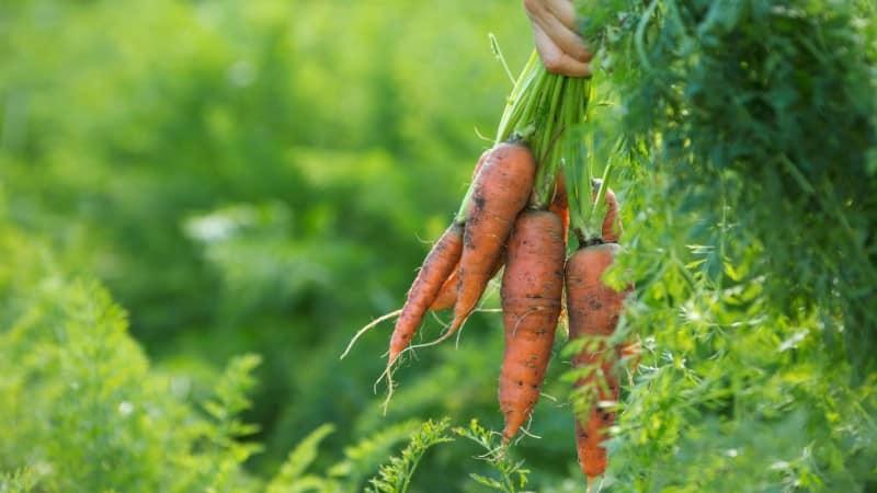 Как определить, когда убирать морковь с грядки на хранение
