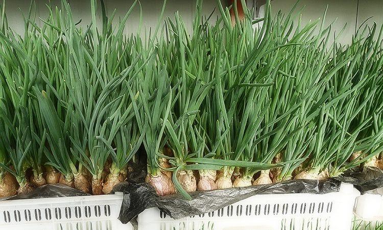 Лучшие сорта семян лука на зелень и алгоритм выращивания