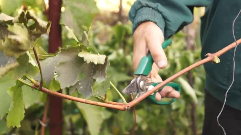 Методы хранения черенков винограда зимой и проращивание весной