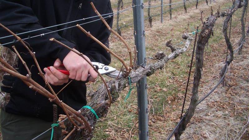 Когда и как правильно обрезать виноград осенью и ухаживать за ним после процедуры