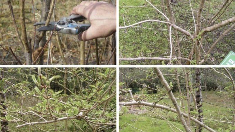 Как правильно проводить обрезку калины осенью (обычной и декоративной)