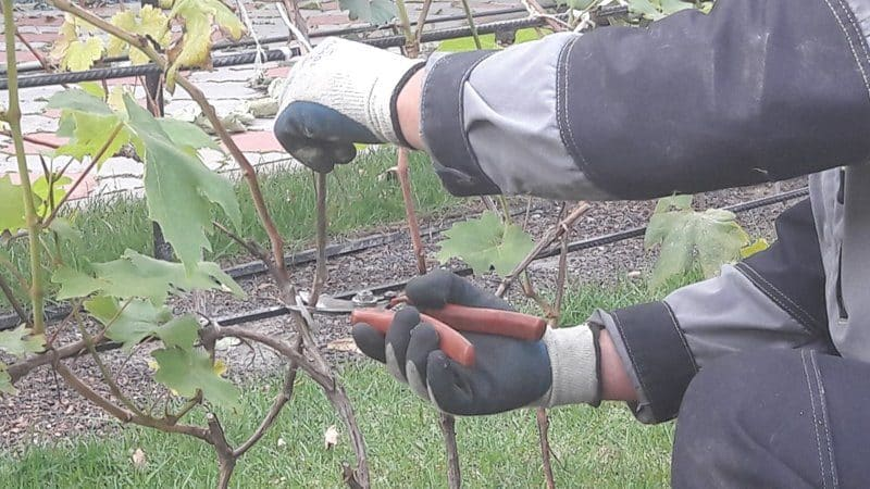 Зачем нужна обрезка винограда осенью и как правильно её проводить
