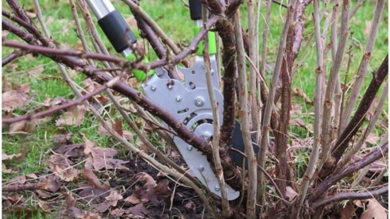 Руководство по правильной обрезке смородины осенью для начинающих садоводов