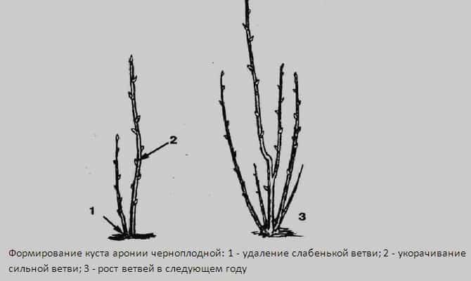 Инструкция по проведению обрезки черноплодной рябины осенью для начинающих садоводов