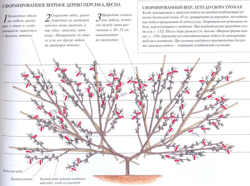 Как правильно проводить обрезку персика осенью и для чего она нужна