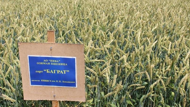 Обзор лучших сортов озимой пшеницы: выбираем самый плодородный и стойкий
